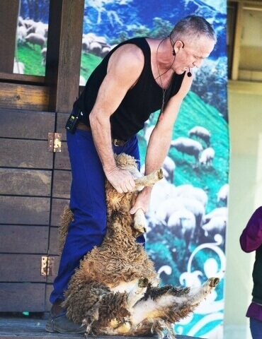 Sheep-shearing Show